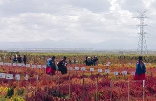 Se revalorizan las variedades de qañahua con miras al II Congreso Nacional de este grano andino