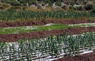 En San Pedro de Totora una intensa granizada afecta los cultivos de hortalizas