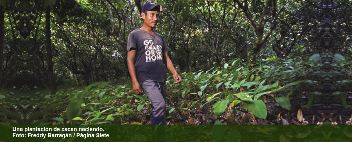 Beni se la juega por su cacao, uno de los mejores del mundo.