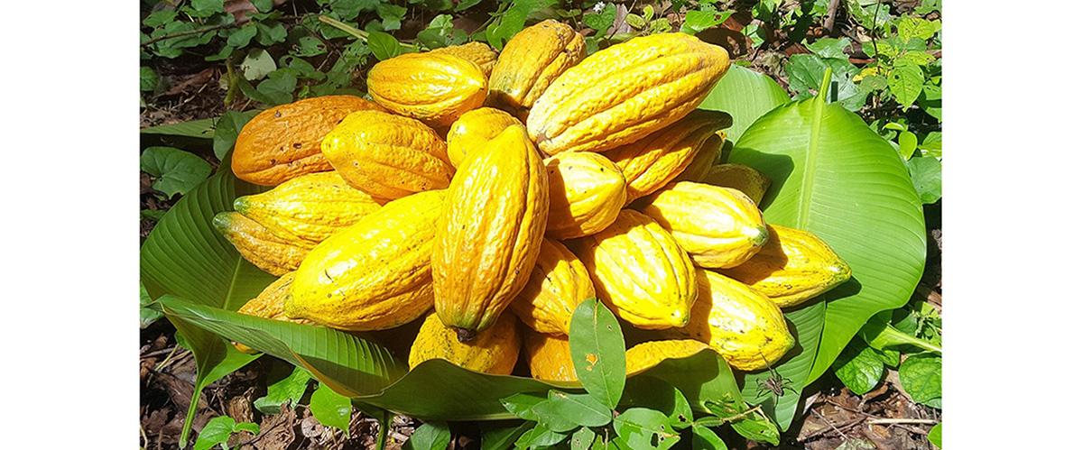 Jornada Científica del Cacao Nativo Amazónico 2020 se realizará el pròximo 04 de diciembre