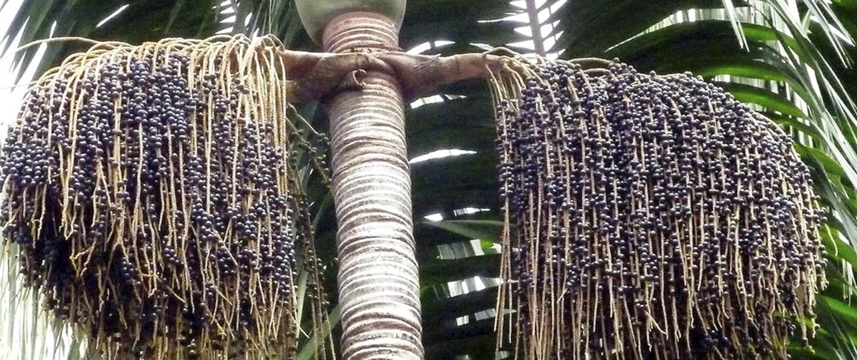 Sugieren potenciar el aprovechamiento de asaí en la Amazonía para reducir la pobreza