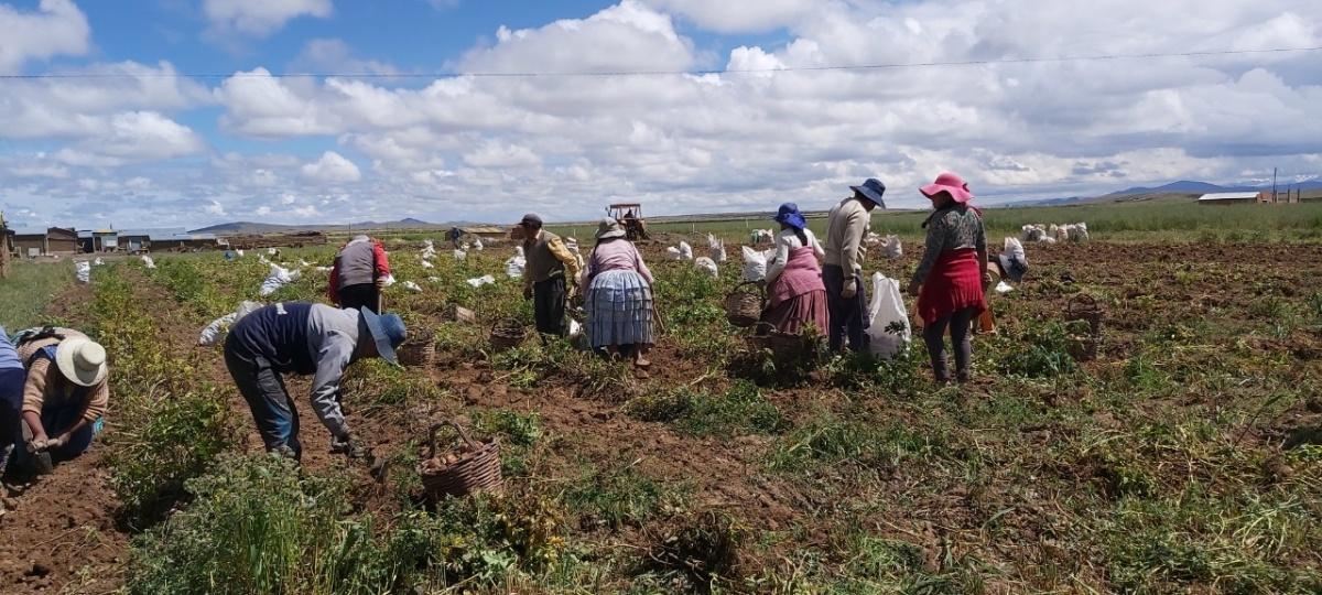 Campesinos piden ayuda: 400 mil t de papa no salen del Altiplano