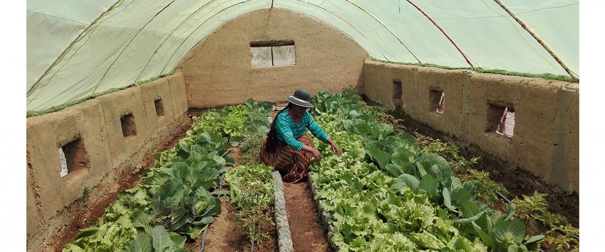 Producción de hortalizas en invernaderos aporta a la autogestión alimentaria en comunidades del Altiplano paceño