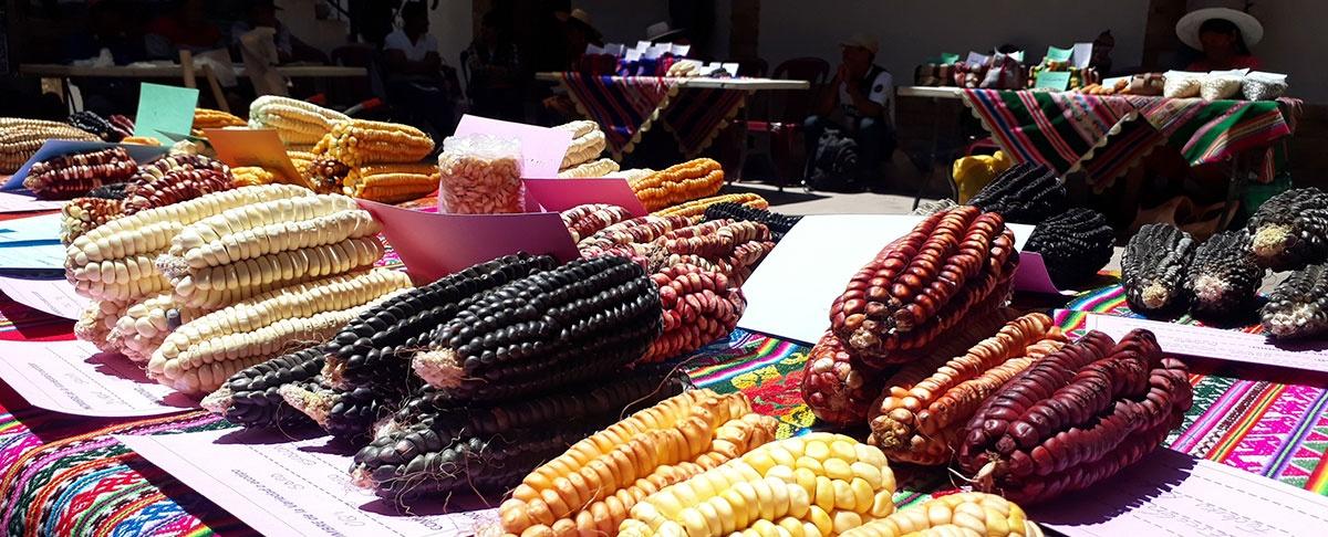 Encuentro de agricultores custodios de los maíces nativos de Torotoro.