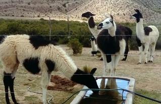 Video reportaje: producción de camélidos y manejo sostenible de recursos naturales en San Pedro de Totora