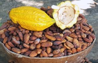 Cacao nativo amazónico del Beni es nominado entre las 50 mejores muestras en el Premio Internacional del Cacao en París