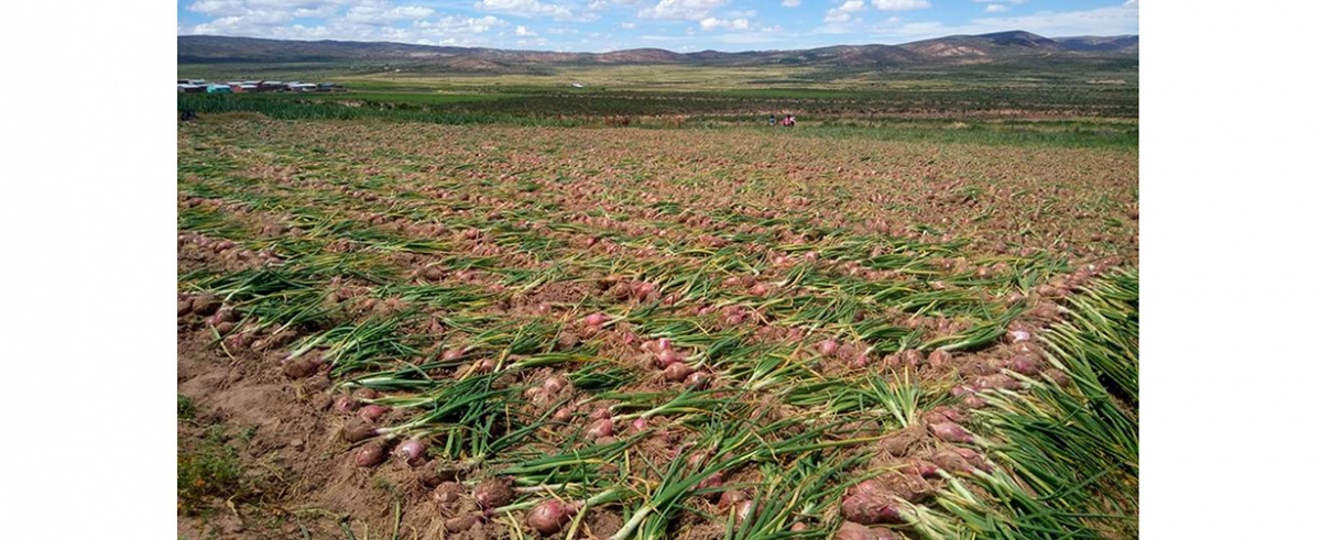 Familias de San Pedro de totora en Oruro diversifican su producción y proveen hortalizas en época de COVID-19