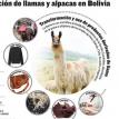 Mejorar la producción de camélidos pasa por 4 factores